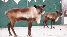 This image shows two of the reindeer at Santa Village.